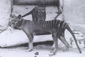 Tigre de Tasmania Future Magazine